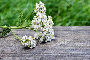 ส่วนประกอบ Intoxic — ดอกยาร์โรว์ทิเบตห้ากลีบ