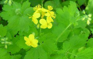 สารสกัดจากดอก Celandine — Papistop โครงสร้าง