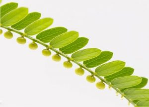 ส่วนประกอบ Intoxic — สารสกัดจากต้นลูกใต้ใบ