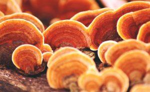 บัญชีรายชื่อ Choco Mia — Lingzhi mushroom