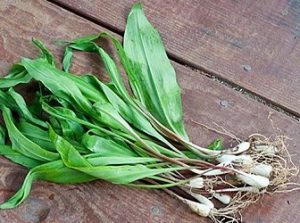 กระเทียมป่า (Allium tricoccum) — องค์ประกอบของ Hypertonium