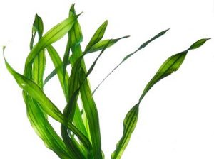 Rechiol โครงสร้าง — Algae extract (สารสกัดสาหร่าย)